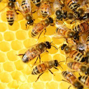 honey-bees-326337_1920