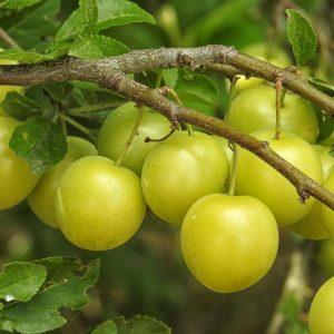 mirabelle-plum-tree-1498884_1920