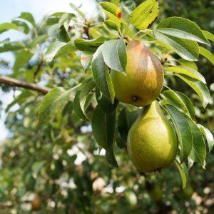 pears-1639117_1920